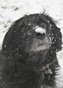 Dog with snow on nose
