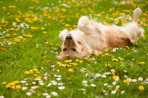 Happy dog rolling in flowers