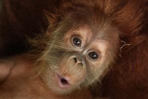 Mega - Orangutan Outreach