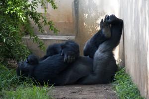 2015_06_07-GorillaNap