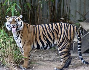 2015_05_26-Tiger(2)
