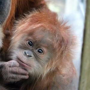 French orangutan