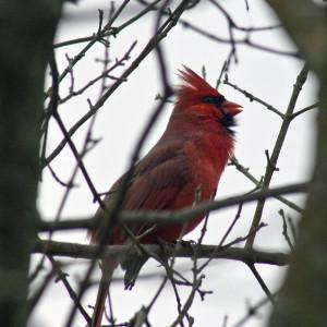 2016_02_22--Cardinal