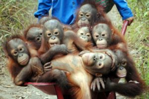 Orangutans off to school
